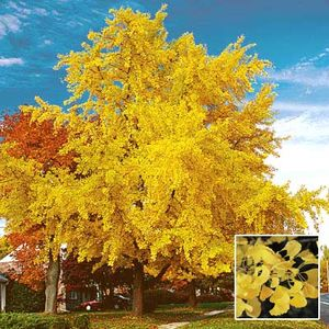 gingko biloba